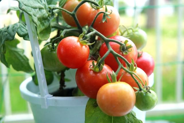 ベランダーでのミニトマト栽培の画像